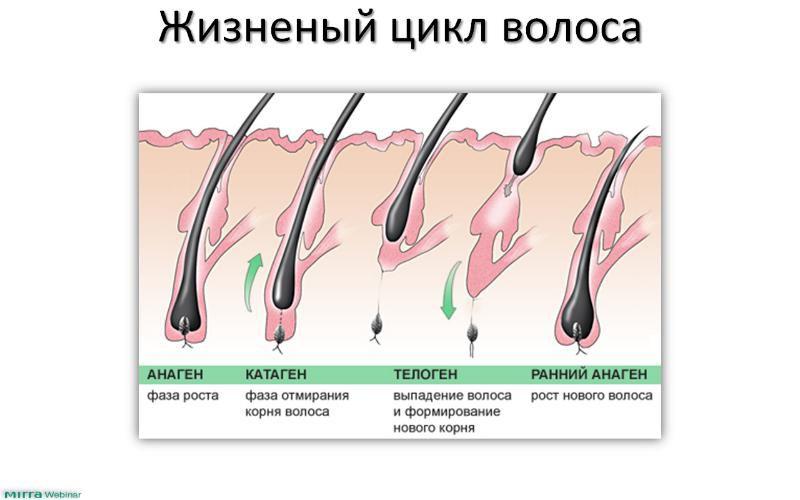 Стадии роста волос